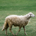 No eres una oveja